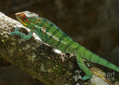 Photograph - panther chameleon from Madagascar 5 by Rudi Prott