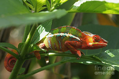Art Print featuring the photograph Panther Chameleon Madagascar 1 by Rudi Prott