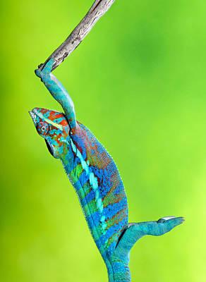 Robert Jensen Photograph - Panther Chameleon by Robert Jensen