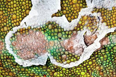 Panther Chameleon Shedding Skin Art Print by Alex Hyde