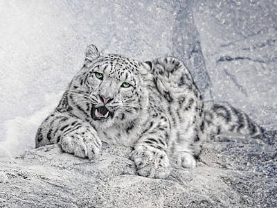 Snow Cat Photograph - Panthera Uncia by Joachim G Pinkawa