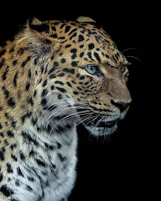 Leopard Wall Art - Photograph - Panthere Portrait Version 2.0 by Laurent Lothare Dambreville