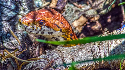 Boa Constrictor Digital Art - Pantherophis Guttatus by Rob Sellers