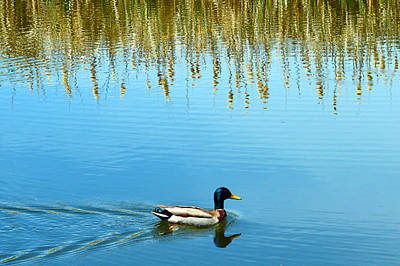 Photograph - Papa Duck by Brent Dolliver