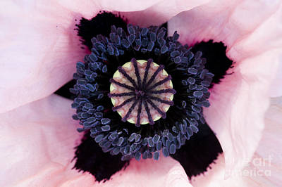 Stamen Photograph - Papaver Orientale Carneum by Tim Gainey