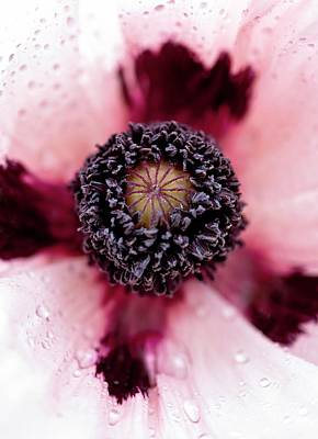 Oriental Poppy Photograph - Papaver 'princess Victoria Louise' by Ian Gowland