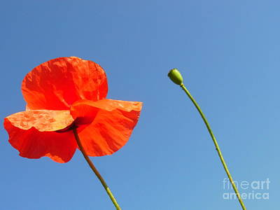 Photograph - Papaver's Freedom by Agnieszka Ledwon