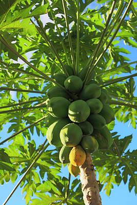 Papaya Tree, Melanesia, Fiji Art Print by Douglas Peebles