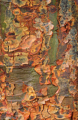 Paper-bark Maple Abstract Print by Nigel Downer