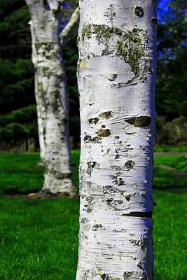 Photograph - Paper Birch Trees by Aaron Berg