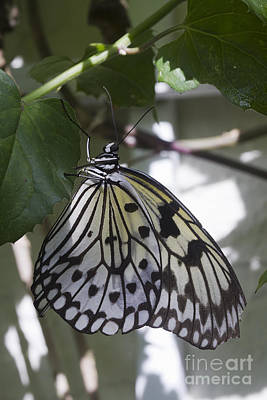 Large Tree Nymph Photograph - Paper Kite by Anne Rodkin