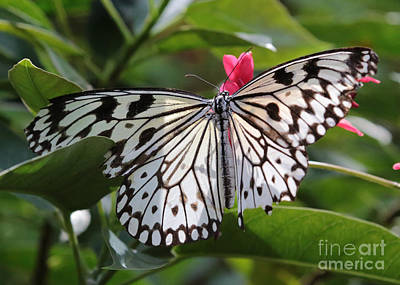 Idea Leuconoe Photograph - Paper Kite Butterfly by Carol Groenen