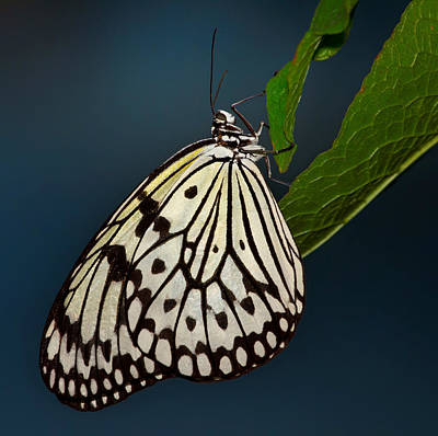 Paper Kite Butterfly Original