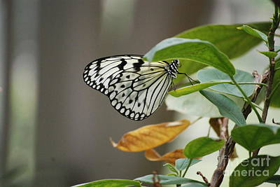 Photograph - Paper Kite Butterfly by Mark McReynolds