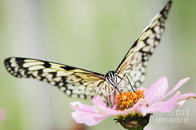 Paper Kite Butterfly On Zinnia Art Print by Oscar Gutierrez
