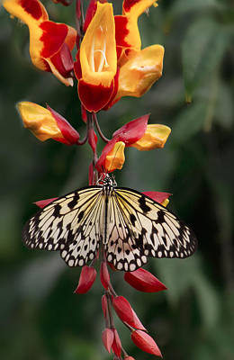 Photograph - Paper Kite Butterfly by Shirley Mitchell