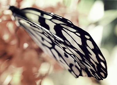 Large Tree Nymph Photograph - Paper Kite Butterfly Wings by Marianna Mills