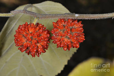Paper Mulberry Art Print by Dr. Roland Spohn