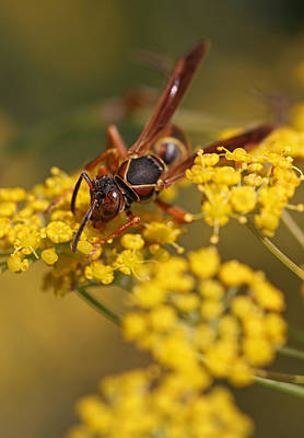 Photograph - Paper Wasp by Juergen Roth