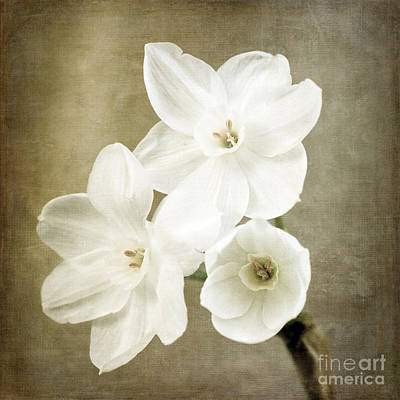 Photograph - Paper Whites by Tamara Becker