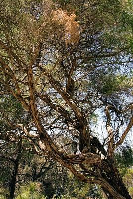 Tea Tree Photograph - Paperbark Tree (melaleuca Quinquenervia) by Adrian Thomas