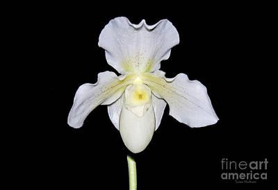 Paphiopedilum Orchid F.c. Puddle Superbum  Art Print