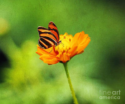 Tickseed Photograph - Papillon by Darren Fisher