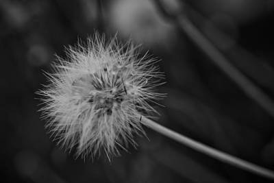 State Love Nancy Ingersoll - Parachutes - dandelion flower by Henry Inhofer