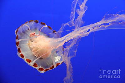 Photograph - Parachute Of The Medusa Jelly by Christiane Schulze Art And Photography