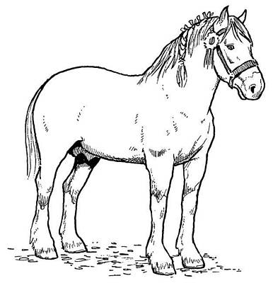 Clydesdale Drawing - Parade Ready by For The Love Of Art