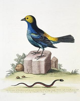 1759 Photograph - Paradise Tanager, 18th Century by Science Photo Library