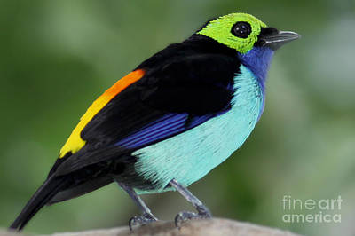 Photograph - Paradise Tanager by Meg Rousher