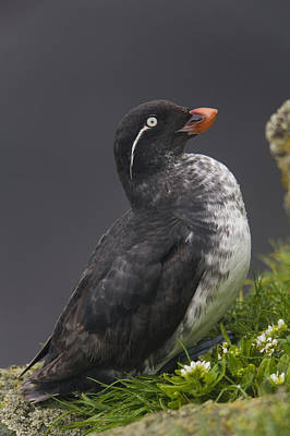 Auklets Photograph - Parakeet Auklet Sitting In Green by Milo Burcham