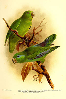 Parakeet Painting - Parakeet by Dreyer Wildlife Print Collections