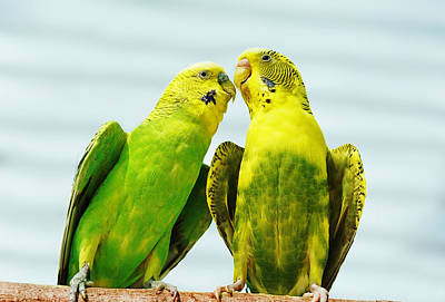 Photograph - Parakeet Love by Abram House