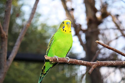 Photograph - Parakeet by Lynnette Johns