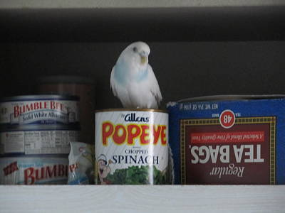 Photograph - Parakeet Missie Supervising Kitchen by Lisa Boyd