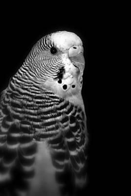 Parakeet Art Print by Nathan Abbott