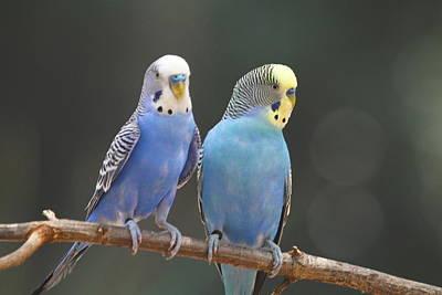 Beak Photograph - Parakeet Pair 5 by Cathy Lindsey