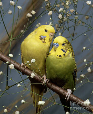 Photograph - Parakeets Budgies by Hans Reinhard