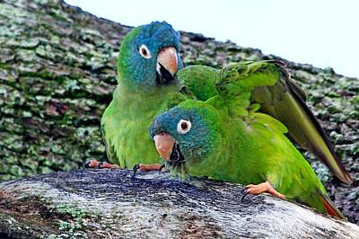 Photograph - Parakeets In An Oak Tree by Ira Runyan
