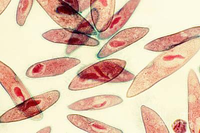 Paramecium Caudatum Print by Patrick J. Lynch