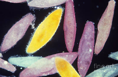 Photograph - Paramecium by Gary Retherford