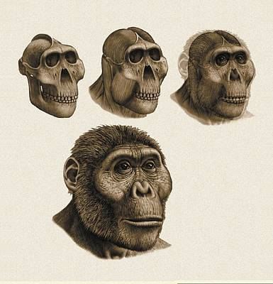 Fossil Reconstruction Photograph - Paranthropus Boisei Anatomy, Artwork by Science Photo Library