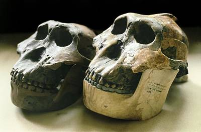 Paranthropus Boisei Skulls Print by Science Photo Library