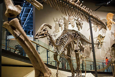 North American Wildlife Photograph - Parasaurolophus Dinosaur Fossil Display by Jim West