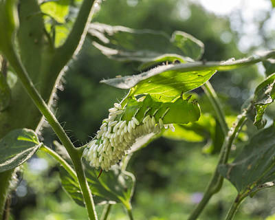 Photograph - Parasitic Wasp Infested Hornworm by MM Anderson
