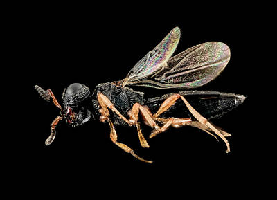 Parasitic Wasp Art Print by Us Geological Survey