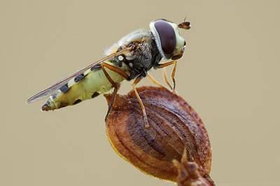 Hoverfly Wall Art - Photograph - Parasitized Hoverfly by Heath Mcdonald