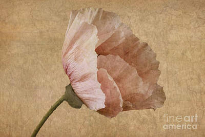 Pink Poppy Blossom Macro Photograph - Parchment by John Edwards